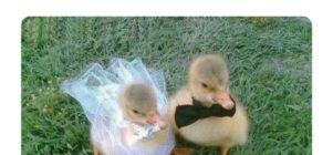 Amor de patos es patoa la vida